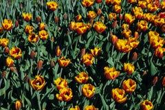 Grupptulpan med kronblad för apelsin-guling färgrunda Arkivbild