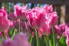 Grupuje up i zamyka menchii róży tulipanów frędzlasty piękny rosnąć obrazy stock