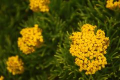 Grupy żółci kwiaty na krzaku fotografia royalty free