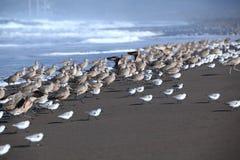 Grupy Długodzioby curlew i Sanderling stojak na plaży Zdjęcia Stock