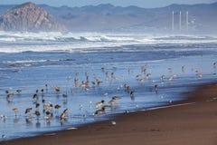 Grupy Długodzioby curlew i Sanderling stojak na plaży Zdjęcie Royalty Free