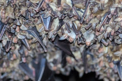Grupy dosypianie nietoperze w jamie Zdjęcia Royalty Free