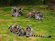 Grupy lemuren w zoo w Augsburskim w Germany zdjęcia royalty free
