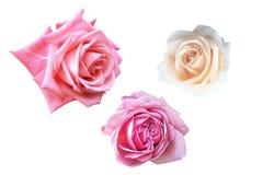 Grupy róże odizolowywać na białym tle z ścinek ścieżką fotografia stock