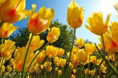 grupy tulipanu kwiaty Zdjęcie Royalty Free