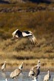 grus γερανών canadensis sandhill Στοκ Φωτογραφίες