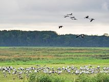 Grus do Grus dos guindastes na área de repouso na área ocidental da lagoa de Pomerania Imagem de Stock Royalty Free