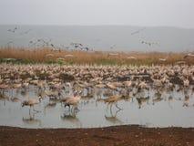Grus en el lago Hula en el crepúsculo, paisaje con los pájaros en el agua fotos de archivo libres de regalías