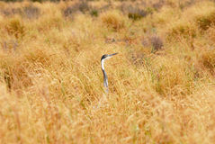 Grus in the grass. Bird on a pitch of South African National park Stock Photography