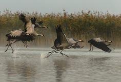 Grus Grus кранов поднимая для полета в туманное утро Стоковые Изображения