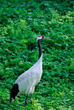 Grus japonensis Stock Photo