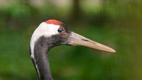 Grus japonensis, a portrait photo of a large bird with a big beak. Grus japonensis, a portrait photo of a large bird with  big beak Stock Photo