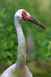 Grus leucogeranus, Siberian White Crane. Stock Photos