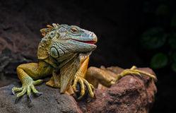 Gruseliger Drache - Leguan Stockfoto