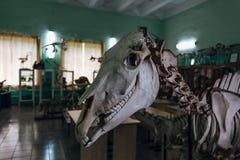 Gruseliger Pferdeschädel Pferdeskelett im anatomischen Labor in der Universität stockfoto