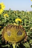 Gruseliges Sonnenblumengesicht Stockfotos