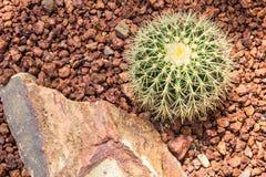 Grusonii d'Echinocactus Photo libre de droits