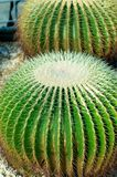 Grusonii de Echinocactus Foto de Stock Royalty Free