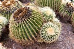 Grusonii de Echinocactus Imagens de Stock