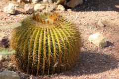 Grusonii de Echinocactus, cacto de tambor, cacto de tambor dourado Fotos de Stock