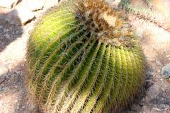 Grusonii de Echinocactus, cacto de tambor, tambor dourado Foto de Stock