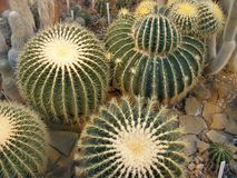 Grusonii de Echinocactus del cactus de barril Fotografía de archivo libre de regalías