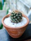 Grusonii de Echinocactus o cactus de barril de oro Fotos de archivo