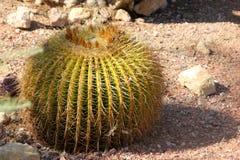 Grusonii di Echinocactus, cactus di barilotto, cactus di barilotto dorato Fotografie Stock