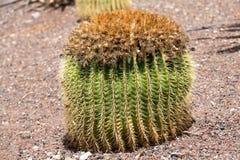 Grusonii Echinocactus, популярно известное как кактус золотого бочонка, стоковая фотография rf
