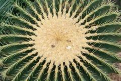 grusonii echinocactus Στοκ Εικόνα