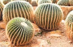 Grusonii hildm cactaceae van Echinocactus Stock Fotografie