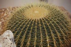 Grusonii Hildm (cactus de barril de oro, bola de oro, el amortiguador de Echinocactus de las Mather-en-leyes) Imagen de archivo libre de regalías