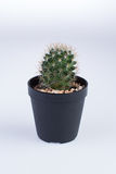 Grusonii v Echinocactus albispinus Стоковые Изображения RF