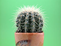 grussoni кактуса Стоковые Изображения