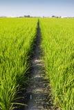 Grusväg i den gröna risfältet arkivfoton