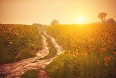 Grusväg i solrosfältet på solnedgången Fotografering för Bildbyråer