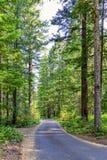 Grusvägen irrar till och med den upphöjda pinjeskogen Royaltyfria Bilder