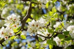 gruszka białe kwiaty Zdjęcia Stock