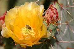 gruszka kłująca kwiat Zdjęcia Royalty Free