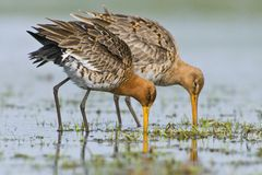 Grutto, Black-tailed Godwit, Limosa limosa stock images