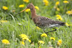 Close up of a black tailed godwit in a dandelion field in the beautiful meadows of Friesland