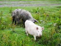 Gruzińskie halne świnie Zdjęcia Stock