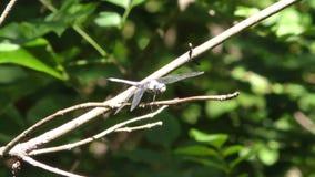 Gruzja, brzeg rzeki park, A zamknięty dragonfly na gałąź w bagnie up zdjęcie wideo
