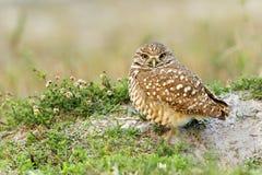 gräva nästa owl för rede till Royaltyfria Bilder