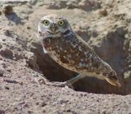 gräva owl Arkivbild