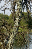 grwoing在一个停止的结构树的Caperat地衣 免版税库存图片