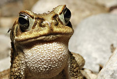 gryźć żaby dżungli komara tropikalny las deszczowy tropikalny Fotografia Royalty Free