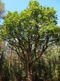 GrybiÅ ¡ kiÅ ³ Ä… Å ¾ uolas, Lithuania) (dębowy drzewo DieveniÅ ¡ kÄ-s regionalności park) ( Obraz Stock