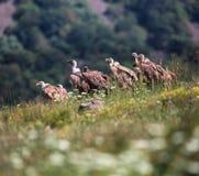 Gryfa sęp w przyrody rezerwie, Bułgaria (Gyps fulvus) Zdjęcie Stock