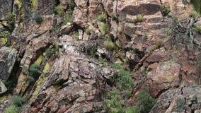 Gryfonów sępy na gniazdeczko, Extremadura, Hiszpania zbiory